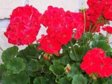 jardin-de-sophie-geranium.jpg