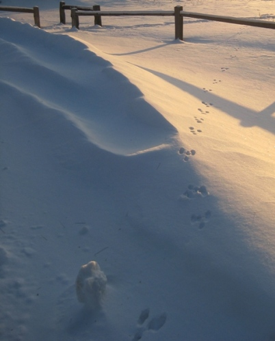 Cottontail tracks at evening