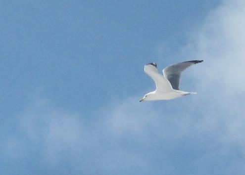 Gull at Richardi Park