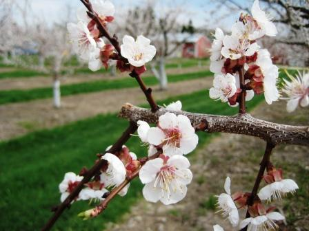 Apricots in full bloom