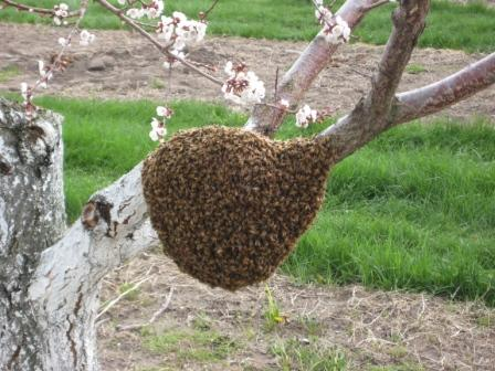 Spring swarm looking for a home