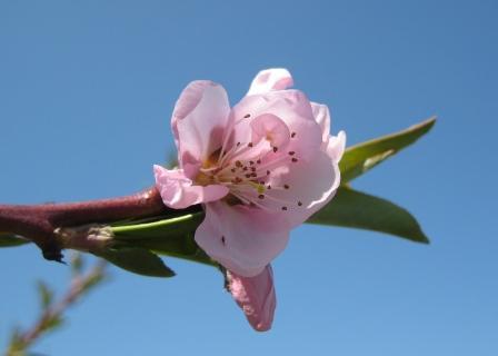 Nectarine blossom2
