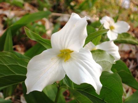 Trilliums in full bloom