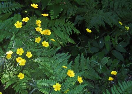 Buttercups and ferns