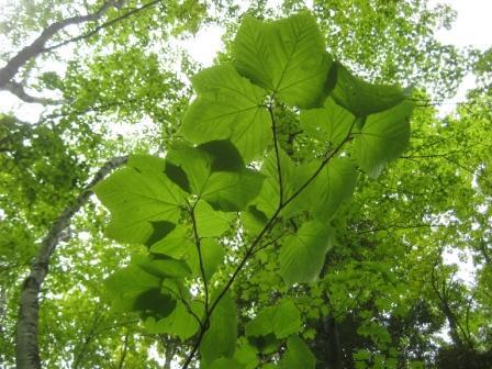Goosefoot maple leaves