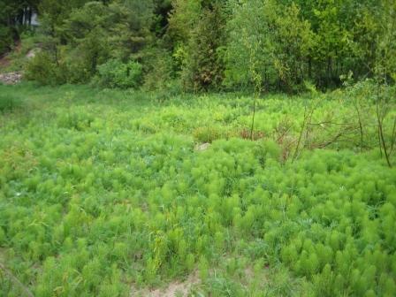 Scourweed bottlebrushes (Equisetum)