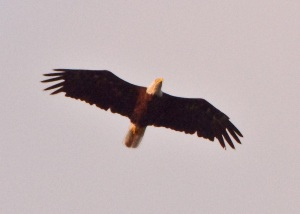 Eagle hunting over Grand Traverse Bay at sunset