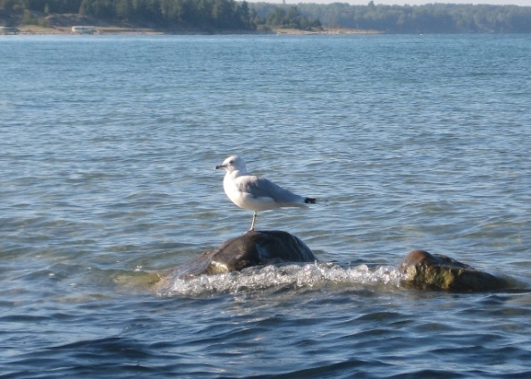 Blase gull
