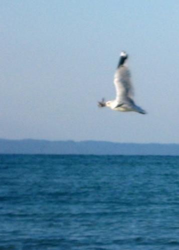 Blurry triumphant gull