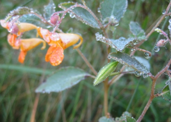 Dawn - Jewelweed seedpod