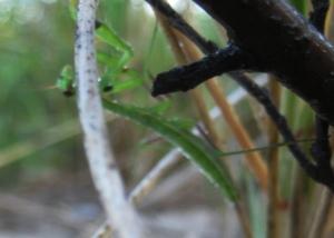 Praying Mantis hiding