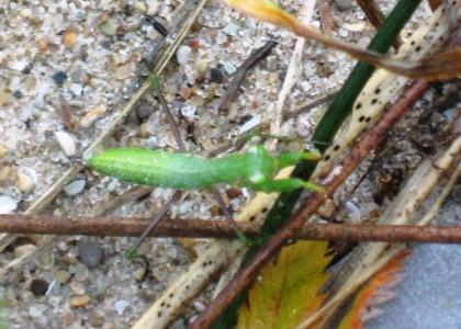 Dawn - Praying Mantis