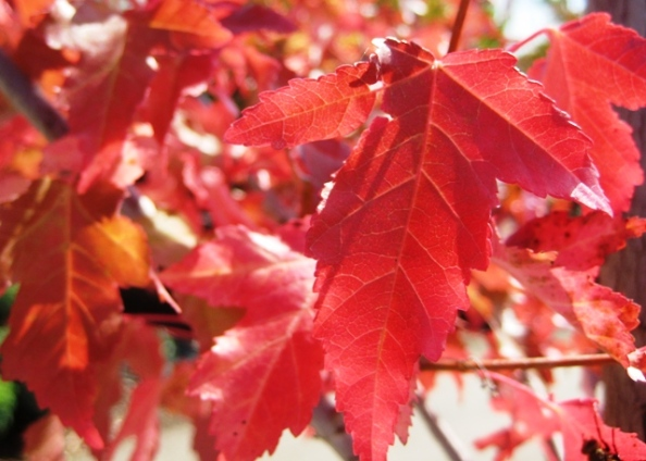 Red leaves at Pine Hill