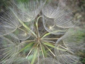 Silky seed parachutes