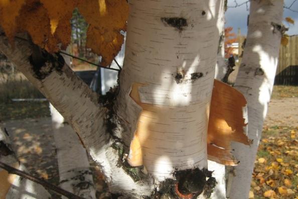 Barb's birch closeup