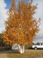 Barb's birch