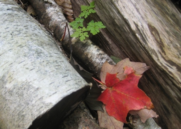 Logs with red leaf
