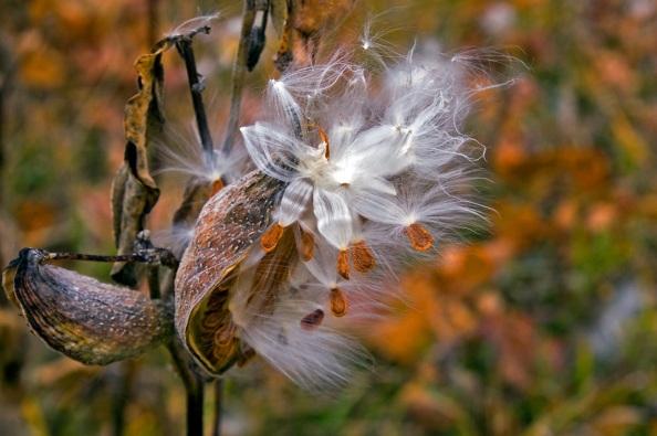 Silky milkweed flower
