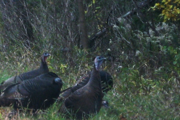 Wild Turkeys near Birch Lake