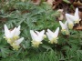 More Dutchmen's breeches