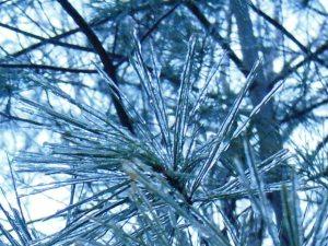 Pine needles in aspic