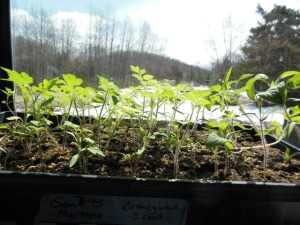 Verdant Ground tomato plants