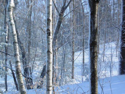 Birches in the fierce cold dawn