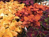 Coleus in rich colors