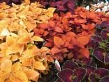 Coleus in rich colors