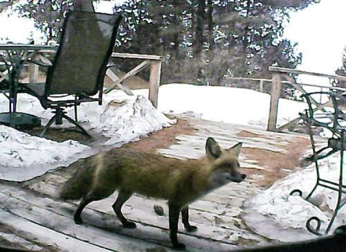 Guard Fox - 1