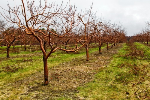 Bare orchard pruning 050214_0043