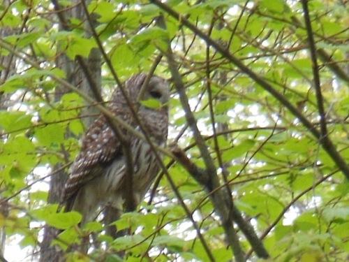 Barred Owl closeup - Neoma Trail