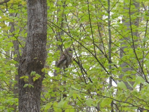 Barred Owl at dawn - Neoma Trail