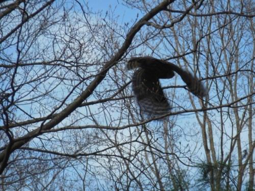 Barred Owl in flight at dusk