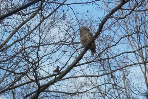 Barred Owl gets a talking-to from a robin