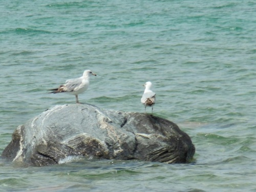 Gulls on a Rock - Grand Traverse Bay - Mid-May