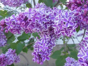 Who knew there were two-toned lilacs?