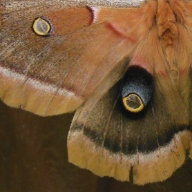 Polyphemus moth wings with transparent eyespots