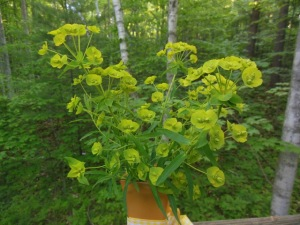 Leafy spurge bouquet