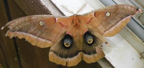 Polyphemus moth full spread