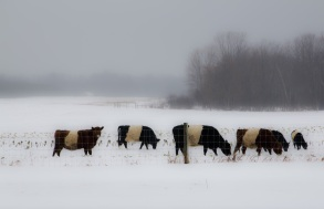 Winter - Belted Galloways at Providence Farm