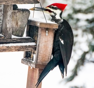 Pileated Woodpecker - Bruce Laidlaw