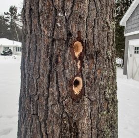 Woodpeckers at work