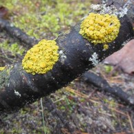 Color for Mud Season - two patches of yellow fungus and lichen