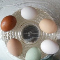 Fresh local eggs