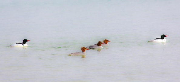 Babs Apr 3 - Mergansers