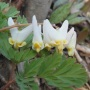 Dutchmen's breeches laughing