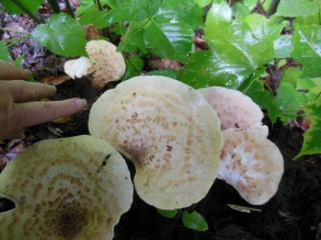 Large fungus in rain