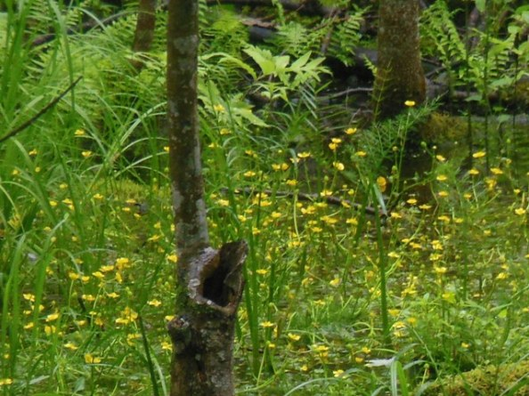 Buttercups in the swamp